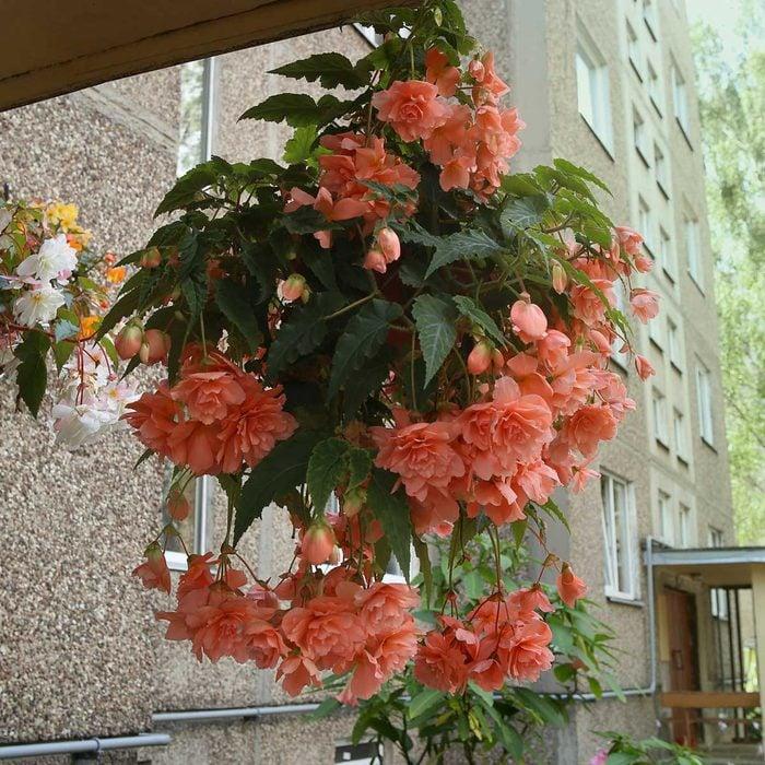 Begonia Hanging Plant
