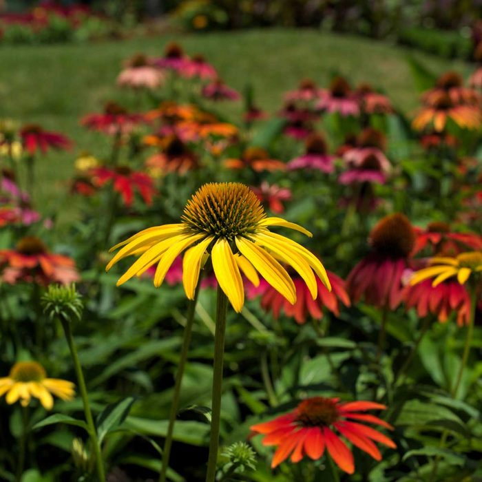 Cone Flower Echinacia Gettyimages 482638368