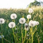 7 Reasons You May Not Want to Kill Dandelions in Your Yard