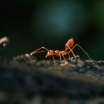 What Are Fire Ants and How Do I Get Rid of Them?
