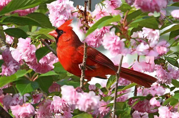 Northern Cardinal Alan Hailston