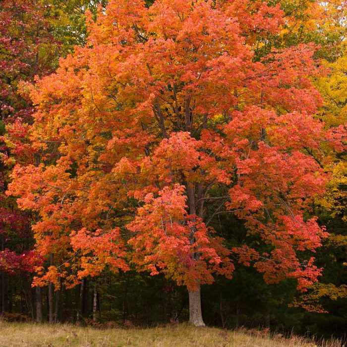 Red Maple Acer Rubrum Gettyimages 602009593
