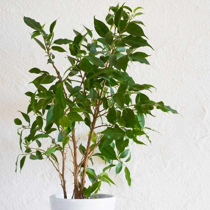 Weeping Fig Ficus