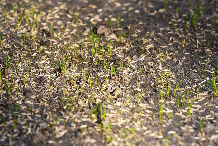 planting Seeds For New Lawn
