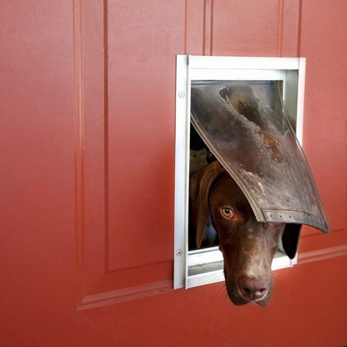 Dog popping head out of doggie door; German pointer looking outside, through doggie door in red door.
