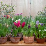 What To Know About Planting Bulbs in Pots