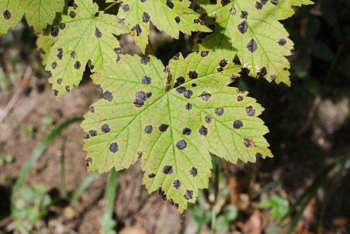 black lesions on maple tree leaves