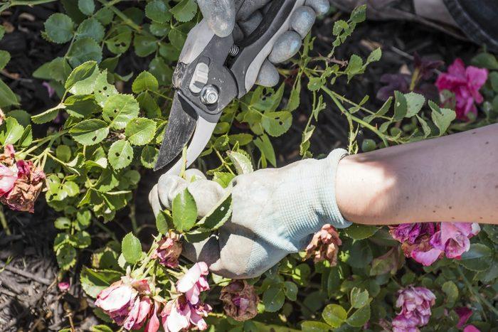 Pruning Drift Roses
