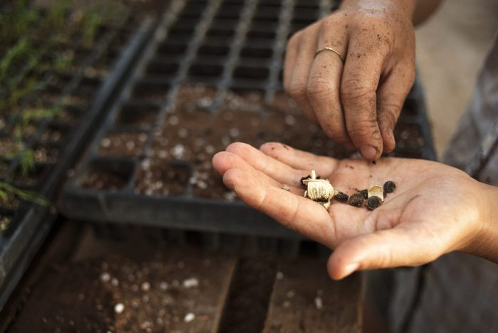 Midsection of female farmer holding seeds in greenhouse