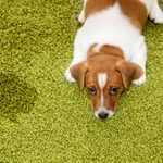 How To Get Dog and Cat Pee Out of Carpet
