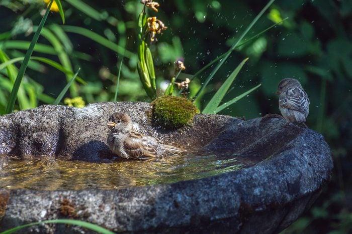 House Sparrows sitting in a bird bath in the back yard