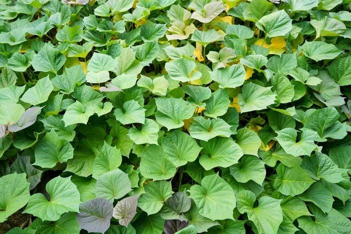 green sweet potato vines