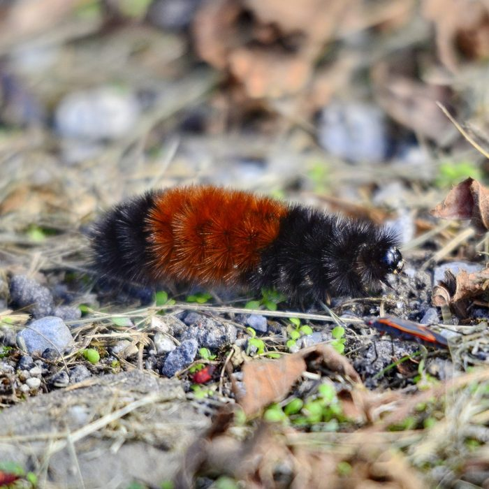 Woolly Bear Caterpillar on the move