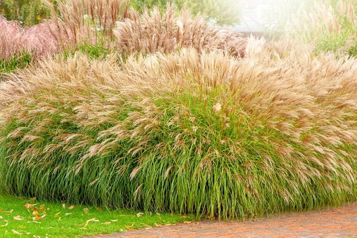 Close Up Image Beautiful Miscanthus Elephant Grass Or Silvergrass Planted Alongside A Garden Path