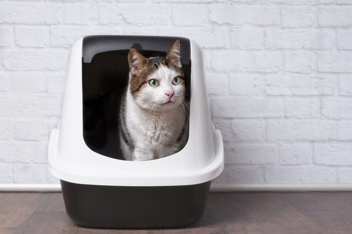Cute Tabby Cat Sitting In covered litter box