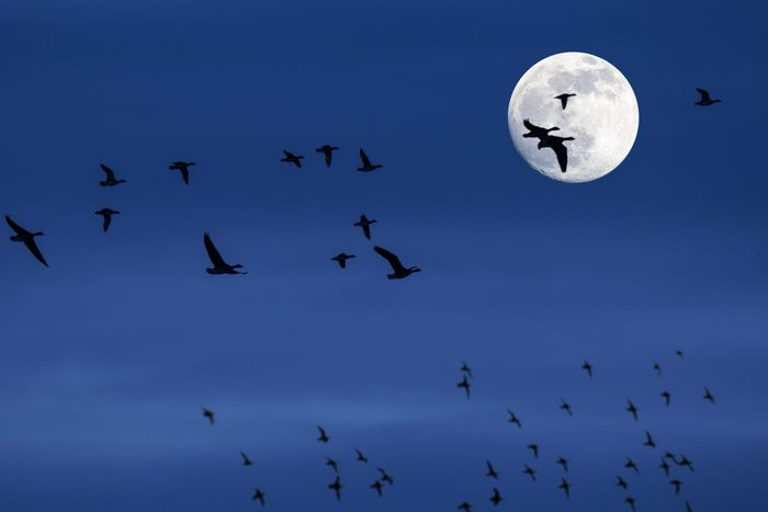 Flock of migrating ducks and geese flying in front of full moon