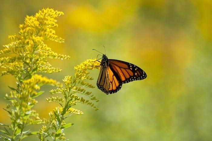 Monarch Butterfly Feeding on Goldenrod plant