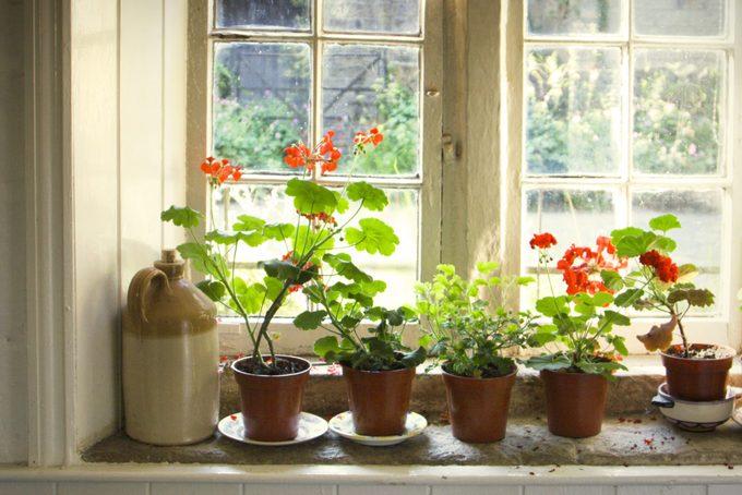 geraniums on the window sill
