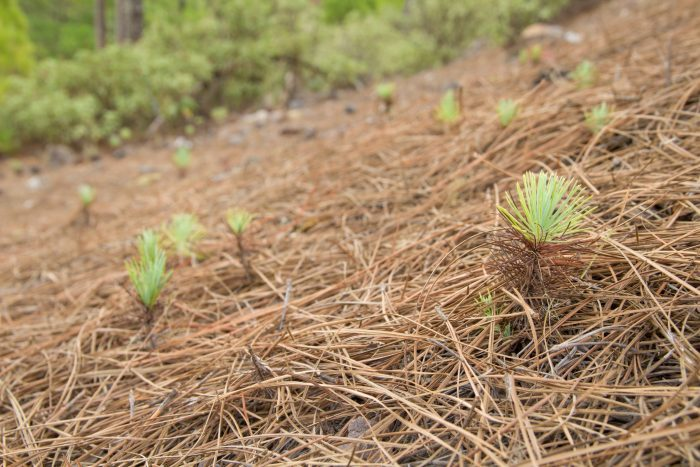 pine straw covering delicate saplings