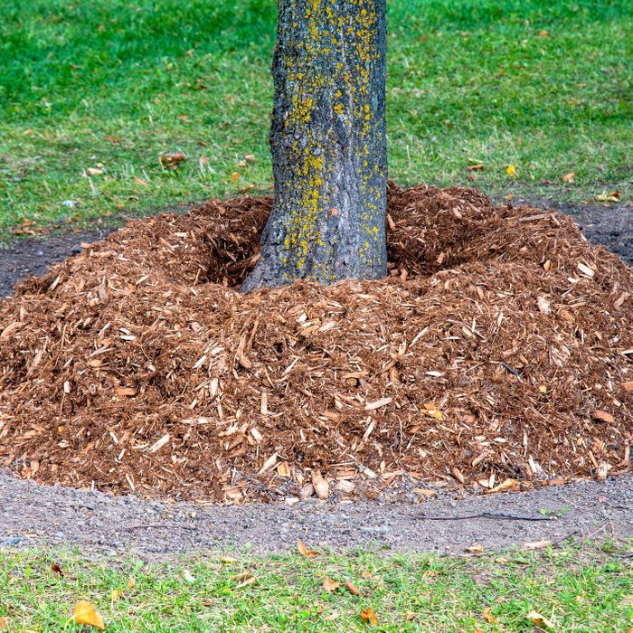 Mulch at the base of a tree trunk at Winter approaches