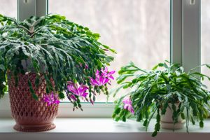 How To Grow and Take Care of a Thanksgiving Cactus