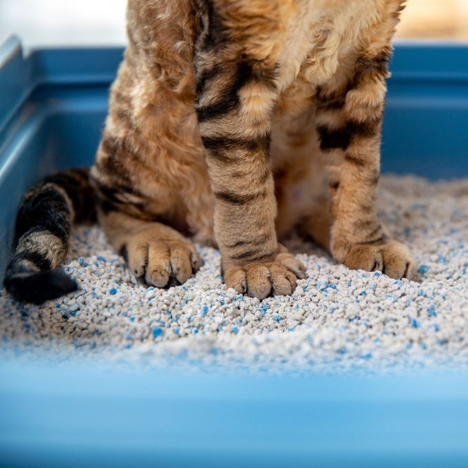 Devon rex Cat using a litter box with white bentonite sand