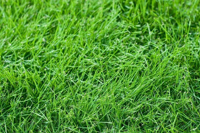 close up of tall fescue grass