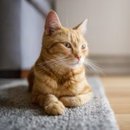 How to Stop Your Cat From Peeing on the Carpet